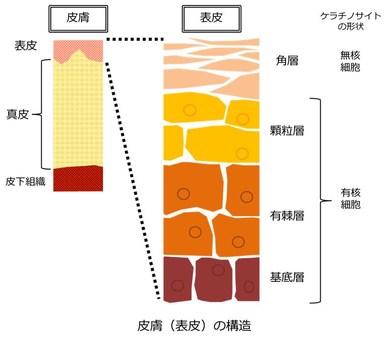 ケラチノサイトの形状