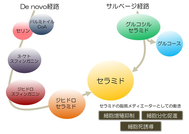 セラミドの役割(情報伝達物質として)イメージ