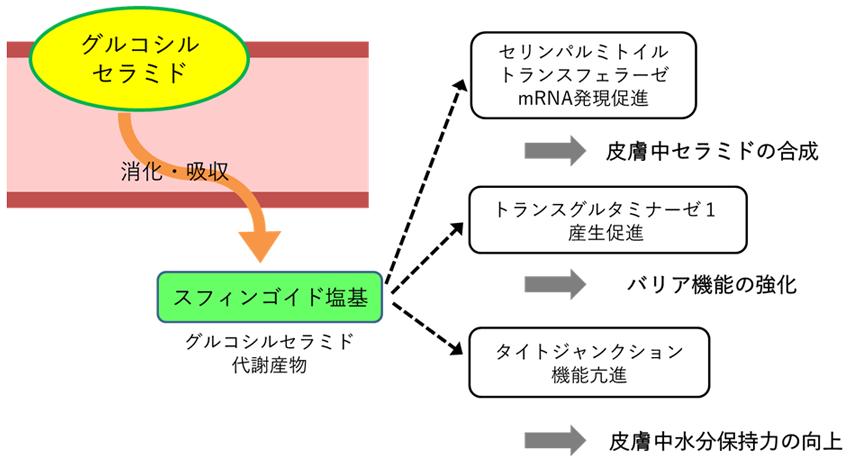 グルコシルセラミドの皮膚改善効果と作用機序について 2 イメージ