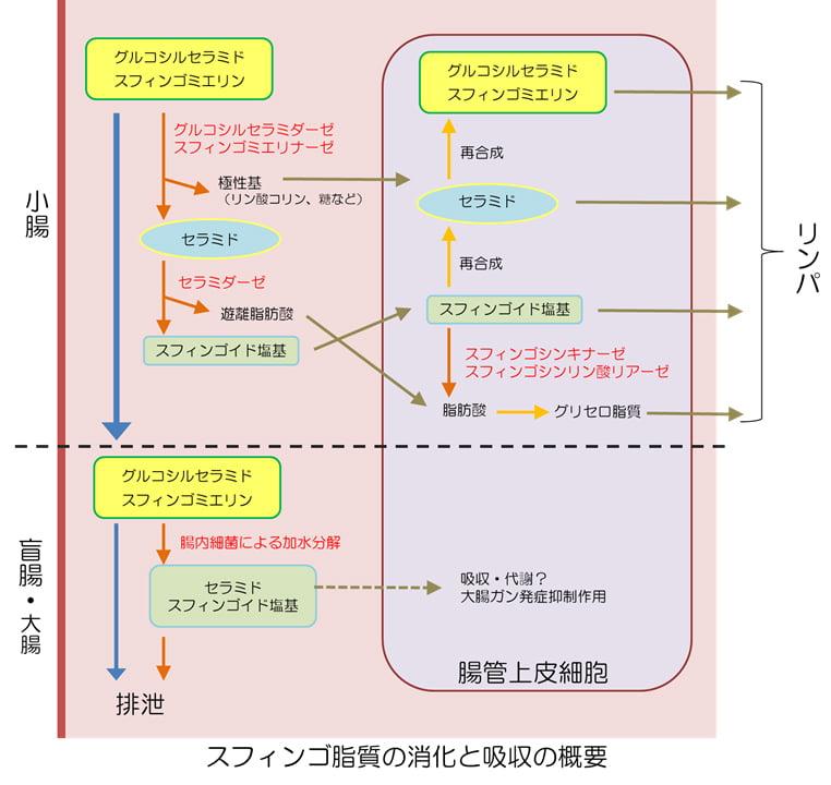 グルコシルセラミドの皮膚改善効果と作用機序について 3 イメージ